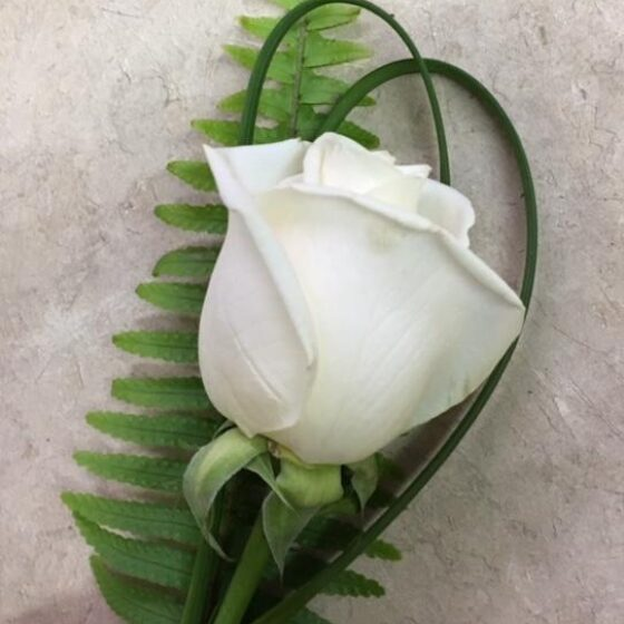 Single white rose with green leaves behind